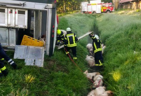 Schweinetransporter in Sustrum umgestürzt